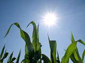 Corn Against Sun