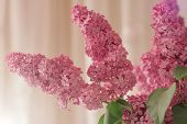 Delicate Bouquet Of Lilacs On A Pink Background. Blurred Background With Spring Flowers, Bokeh. Bouq poster