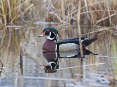 picture of crested duck  - Drake Wood Duck swimming with his head high and crest up - JPG