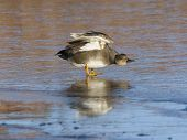 Stretching Gadwall