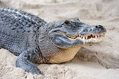 picture of alligators  - Alligator closeup on sand in Gator Park in Miami - JPG