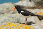 Eurasian Oystercatcher (Haematopus ostralegus) on a rock, Isles of Scilly UK.