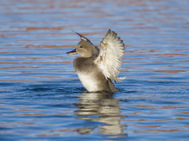 stock photo of gadwall  - Gadwall Drake swimming with his wings up - JPG