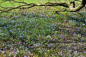 Wilde hyacint.