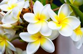 image of plumeria flower  - a bunch of plumeria white and yellow flower on garden - JPG