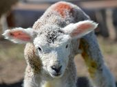 A Scruffy Young Romney Lamb