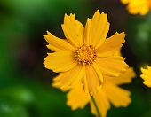 picture of nana  - Closeup of yellow Tickseed flower  - JPG