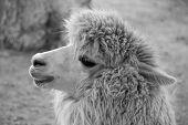 Um alpaca