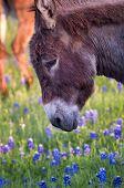Donkey In A Field Of Bluebonnets