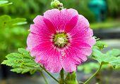 Hollyhocks Flower In The Garden With Leaf
