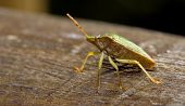 Pentatomidae Palomena Prasina On A Wood