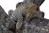 Leopard in tree