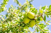 stock photo of spherical  - Fresh argan fruits on a branch of a tree - JPG