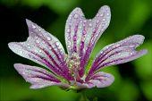 Flower Malva Alcea Moschata Sylvestris Lavatea Arborea