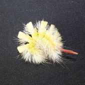 Fluffy Caterpillar