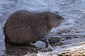 stock photo of muskrat  - A muskrat  - JPG