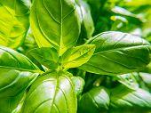 Fresh Basil Herb Plant