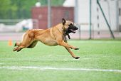 stock photo of belgian shepherd dogs  - funny Belgian Shepherd Malinois dog running on stadium - JPG