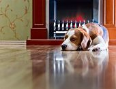 Beagle Has A Rest Near To A Fireplace