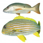 Snapper fish and Sweetlips isolated on white background