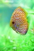 stock photo of diskus  - stripe tropical discus fish in the aquarium