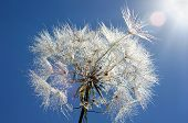 picture of wind up clock  - Dandelion with drops of dew on a background a bright blue sky - JPG