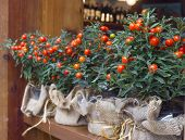 Decorative Pots With Ornamental Coral Nightshade (solanum Pseudocapsicum)