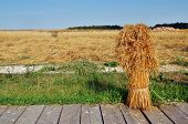 Sheaf Of Yellow Spices In Russian Rural Farm