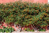 Lantana bush inside Santa Catalina monastery in the peruvian Andes at Arequipa Peru