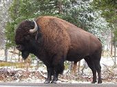 foto of erection  - A large American Bison  - JPG