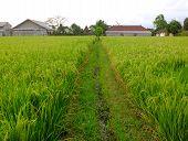 Rice Field Path