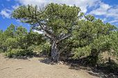 foto of juniper-tree  - Relict juniper tree in the Crimean mountains - JPG