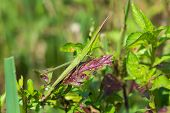 stock photo of stick-bugs  - A Common Stick Grasshopper  - JPG