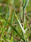 Small Pale Green Praying Mantis
