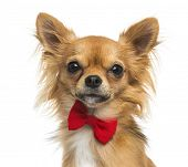 Close-up of a Chihuahua wearing a bow tie, 11 months old, isolated on white