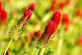 Crimson clover or Italian clover