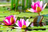 stock photo of lillies  - Closeup of beautiful water lillys in the lake - JPG