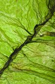 seaweed kelp ( laminaria ) surface top view close up macro shot texture background