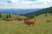 A herd of cows in the Black Forest