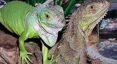 Pairr Of Iguana's