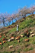 Shepherd and goats, Spain.