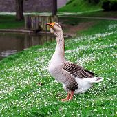 Beautiful Goose Near The Lake