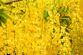 stock photo of cassia  - Golden Shower Tree Cassia Fistula is a tropical tree with yellow flower heads - JPG