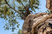 Twisted Olive Tree Trunk