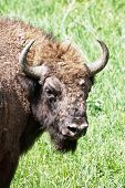 Portrait Of European Bison Male