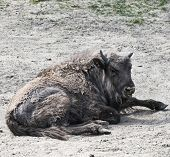 Midday Rest Of European Bison