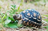picture of tortoise  - Leopard tortoise is eating the grass - JPG