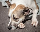 Staffordshire Bull Terrier Waiting On The Street Lying Down