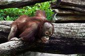 Young Orangutan (pongo Pygmaeus)