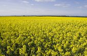 Oil Seed Rape Fields